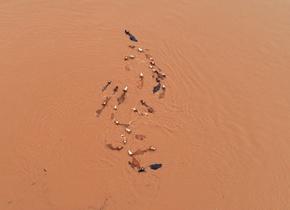 江西持续强降雨致超警戒水位 牛群被洪水围困