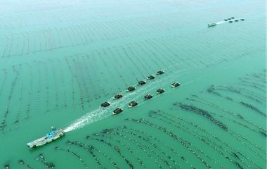 航拍威海渔民驾船运输海带 一派丰收忙碌景象