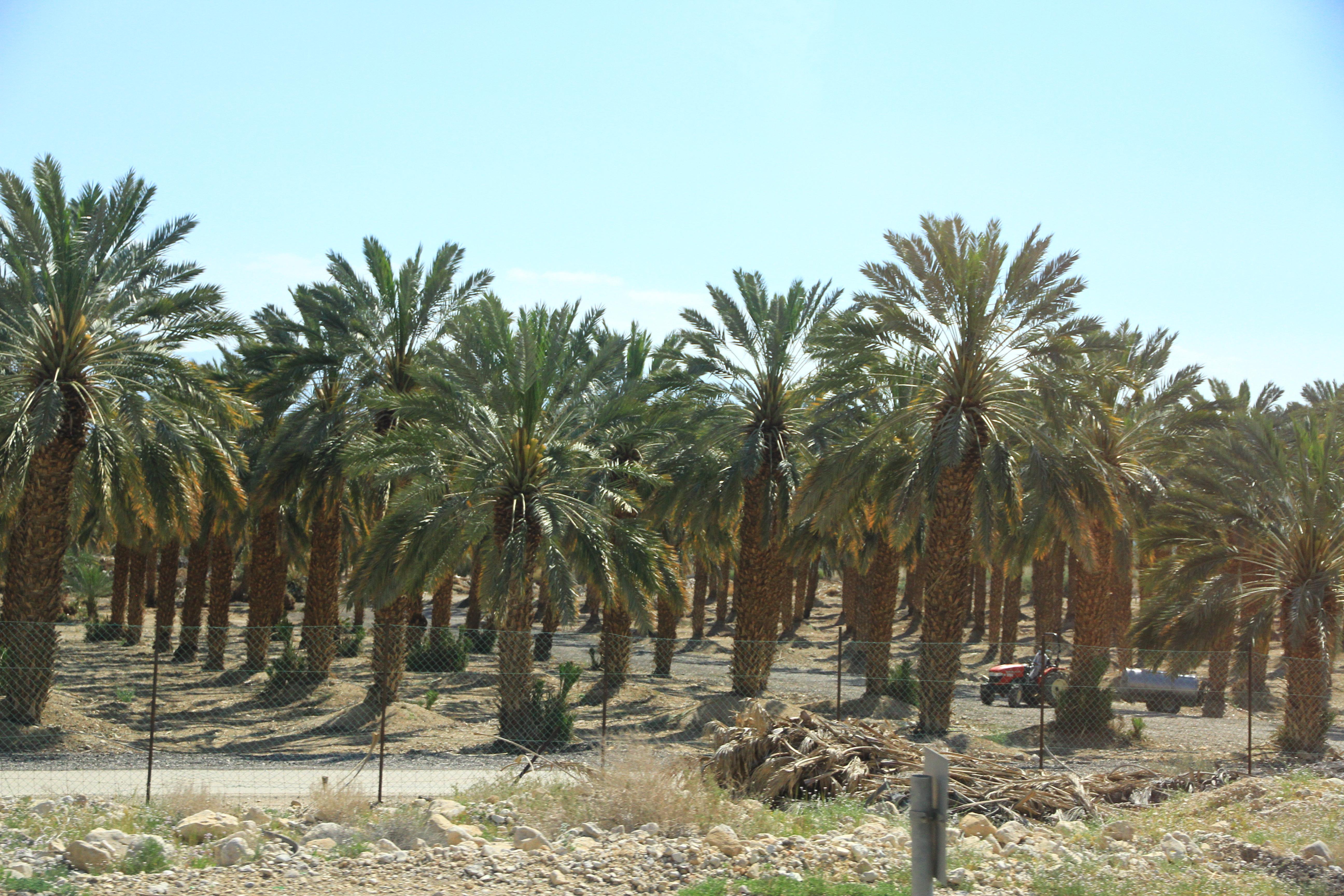 椰枣林(车拍)