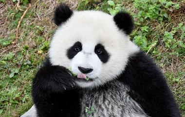 """萌值爆表!大熊猫宝宝 """"熊猫幼儿园""""里集体撒欢"""