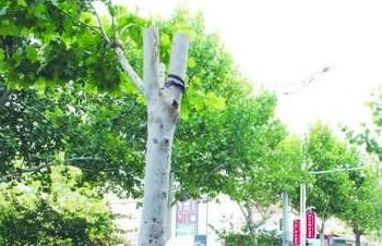 """聊城城区17棵行道树遭""""削冠"""" 部门:擅自修剪行为违法"""