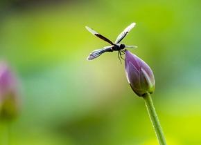 荷塘里的花间飞舞 摄影师拍下夏日美妙瞬间
