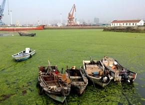 浒苔涌入青岛,渔港犹如绿茵场