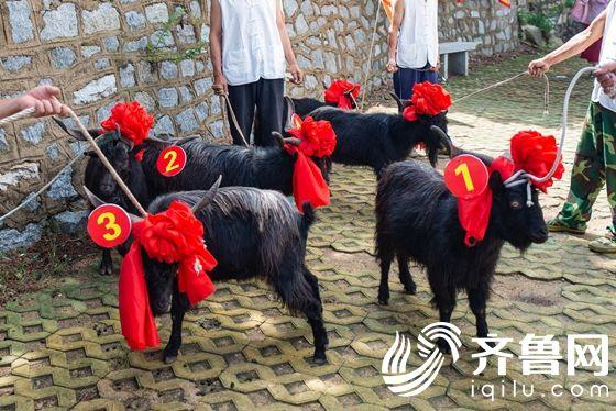 4.蒙山黑山羊选美