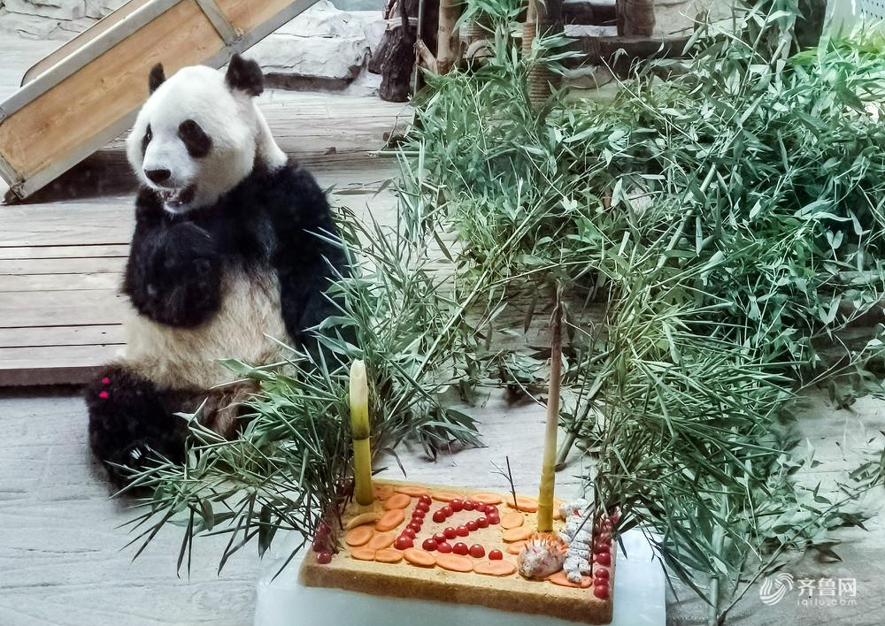 """大熊猫""""雅吉""""和""""华奥""""过生日 特制水果蛋糕吃得欢"""