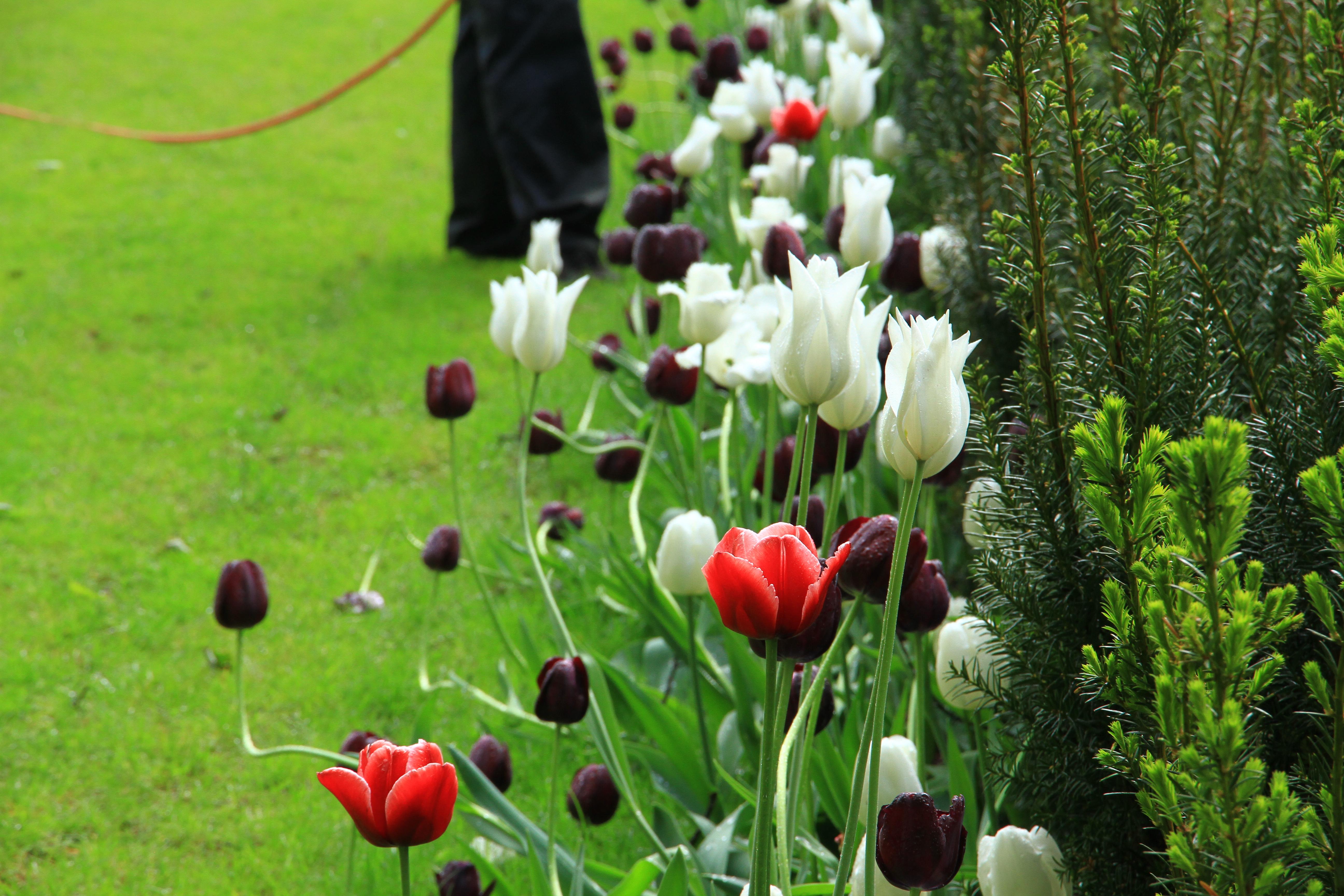 20、爱沙尼亚塔林:绿地上盛开的郁金香