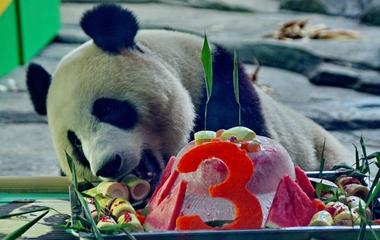 """大熊猫""""胖妞""""3岁生日party 不爱蛋糕偏爱笋"""
