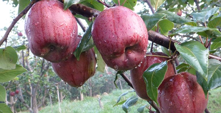 44秒 红色的梨你见过吗?聊城这个村的梨熟了,全身通红利润还高