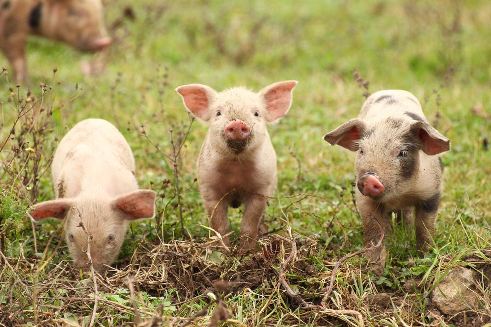 国务院常务会议 稳定生猪生产和猪肉保供稳价