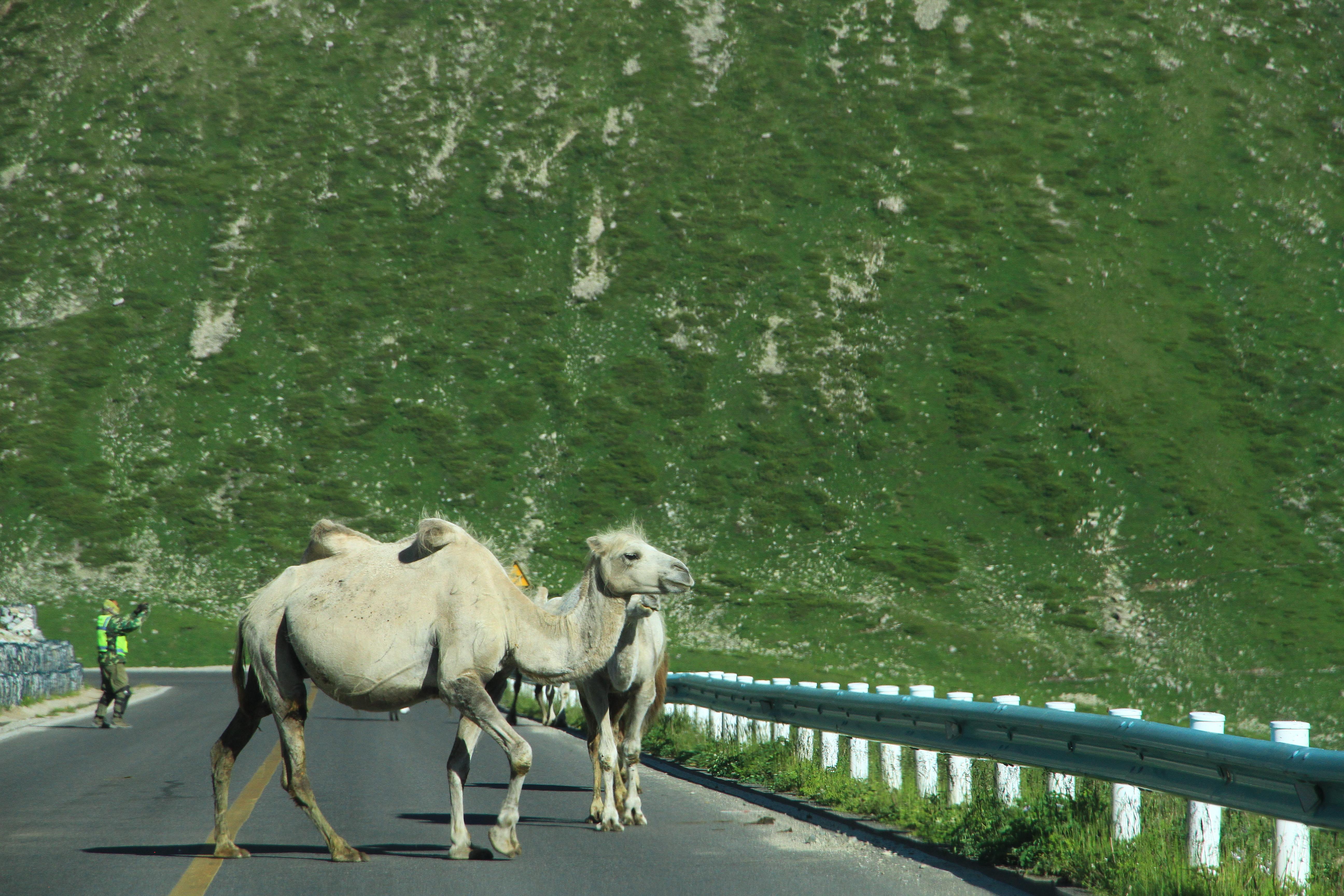 20、独库公路。路遇骆驼