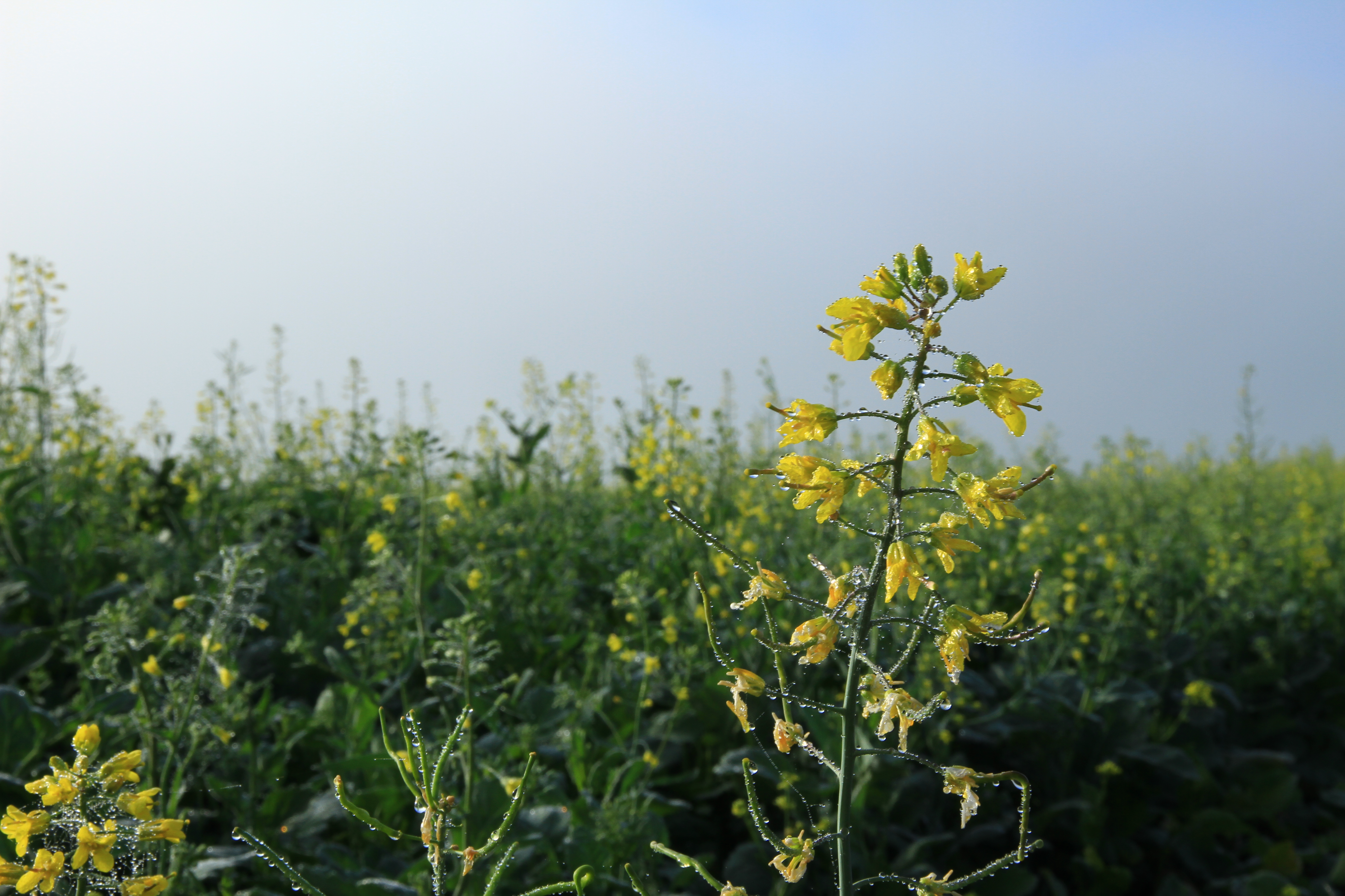 36、那拉提草原。雨后的油菜花