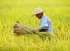 济南黄河水稻开始收割 金色田野稻谷飘香
