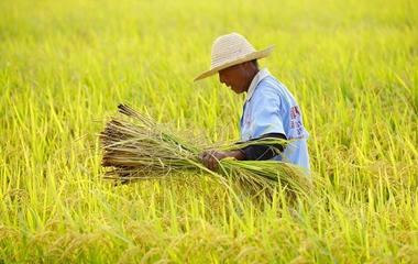 濟南黃河水稻開始收割 金色田野稻谷飄香