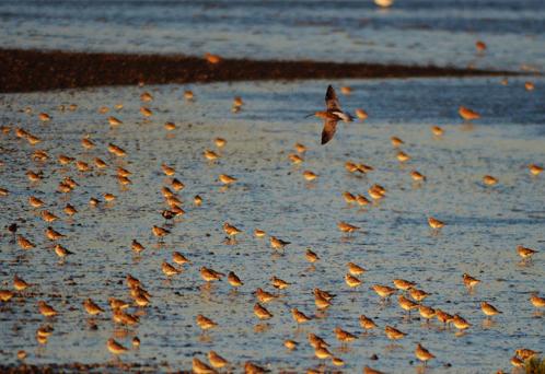 成群鸻鹬类候鸟迁回青岛 场面壮观