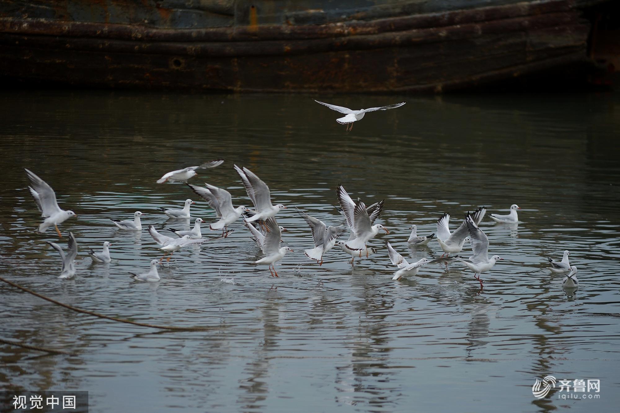 青岛渔港码头上成群红嘴鸥携幼鸟觅食 场面壮观
