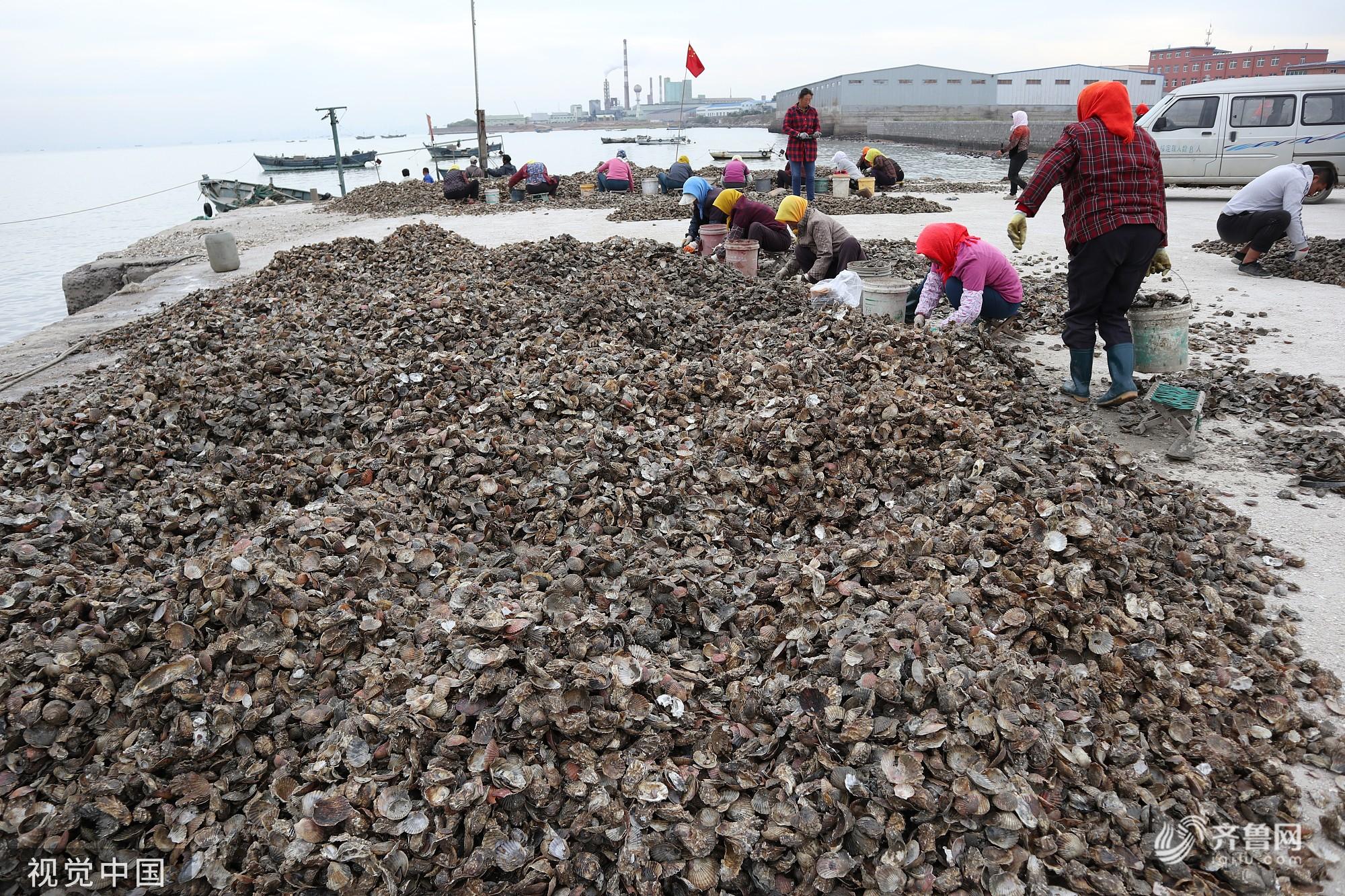 青岛:国庆长假 胶州湾渔民抓紧时机分拣海蛎子苗