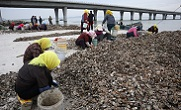 膠州灣漁民分揀牡蠣苗