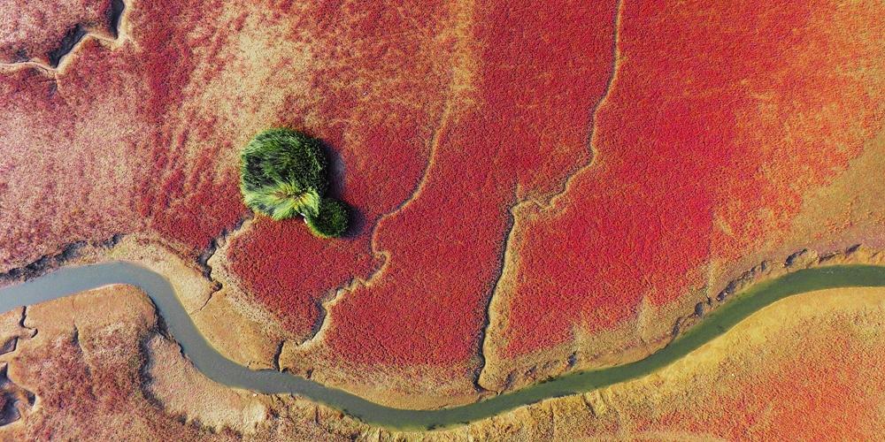 青岛:碱蓬草色泽浓烈 航拍如红色地毯