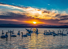 波光粼粼、翩翩起舞!夕阳下的荣成天鹅湖景美如画