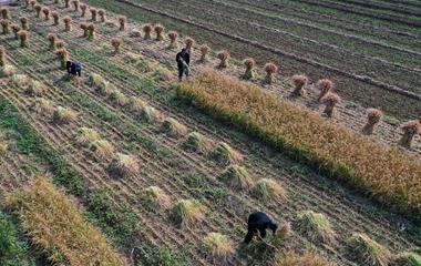 枣庄:旱稻迎来丰收期 农民收割忙