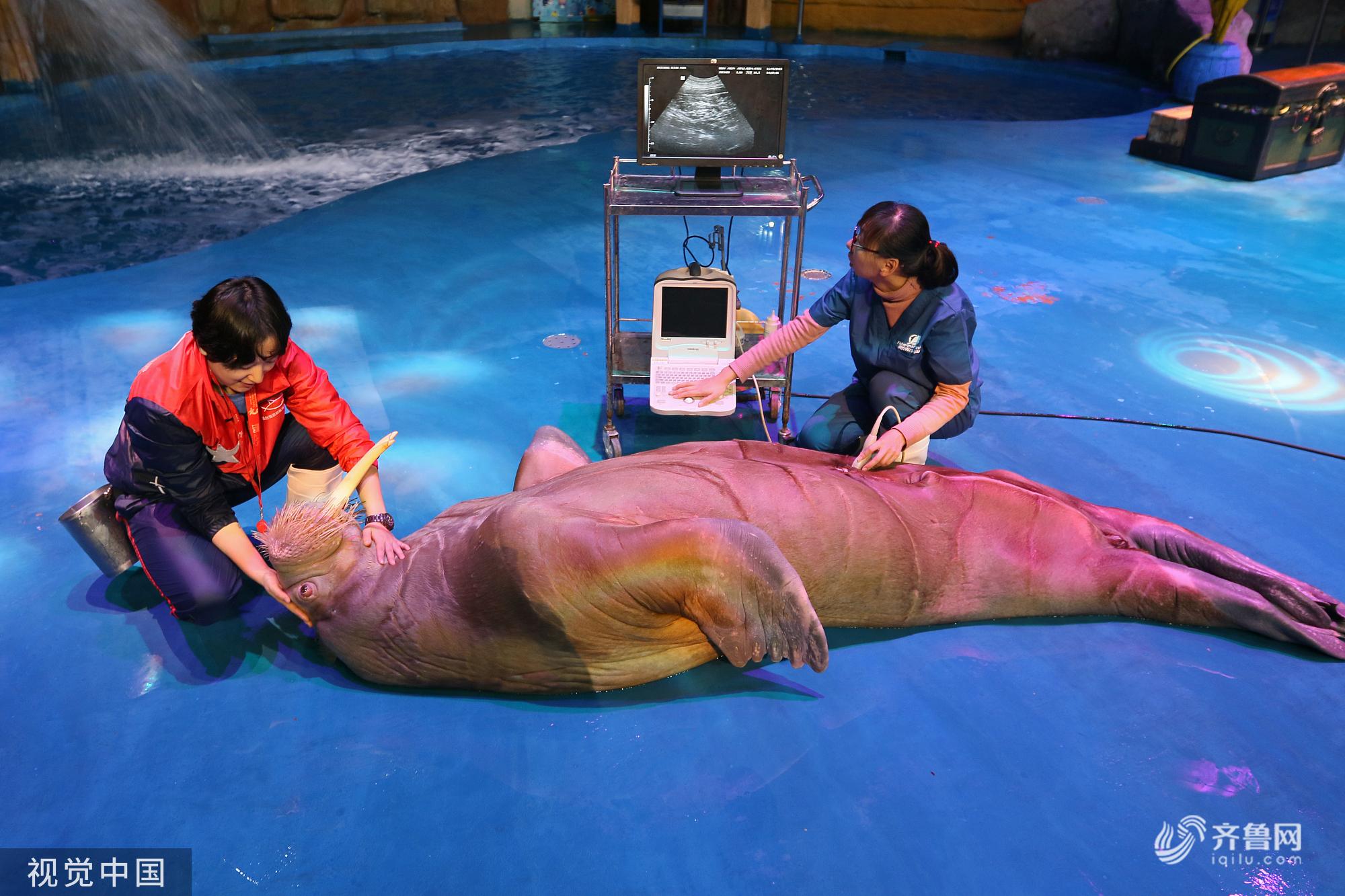 山东烟台:海洋动物体检 超配合憨态可掬