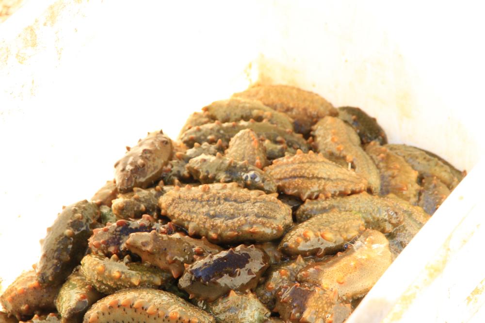 32、海参养殖场出产的鲜海参