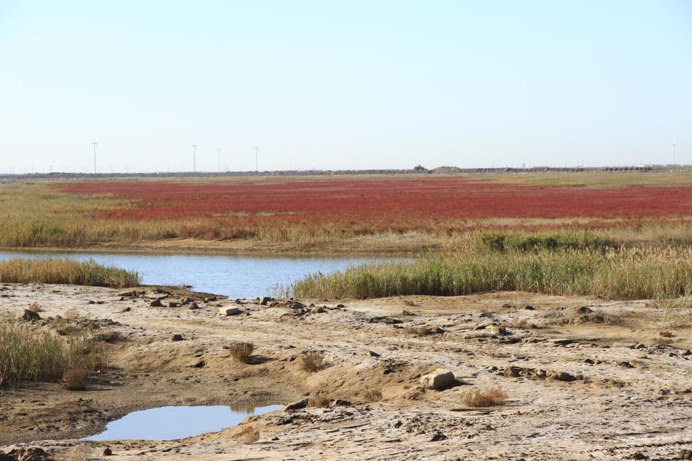 39、湿地生长的碱蓬草