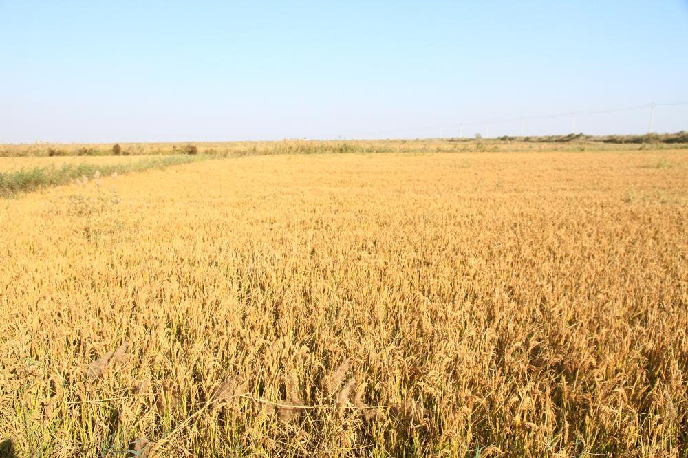 """40、""""喜看稻菽千重浪""""。黄河农场种植的万亩水稻"""