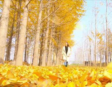 44秒|潍坊银杏第一乡迎来最美时节 片片黄叶美如画