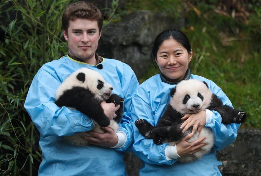 比利時出生的大熊貓雙胞胎寶寶亮相