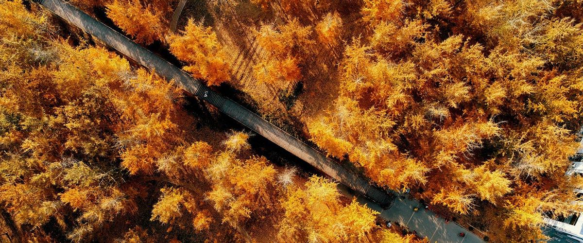 航拍:郯城30万亩银杏林迎来最佳观赏期