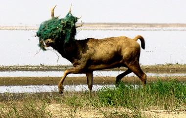 15公斤重蝦網纏住麋鹿頭 7人合圍終解救