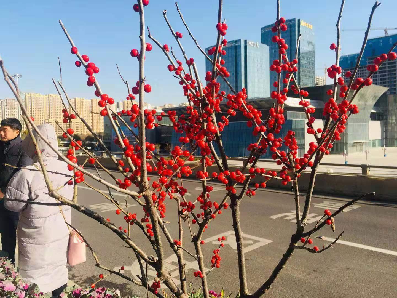 """何""""芳""""神圣?济南街头上新观赏植物"""