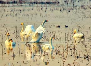 """济南也有个""""天鹅湖"""" 每年冬季不远万里相约这里"""