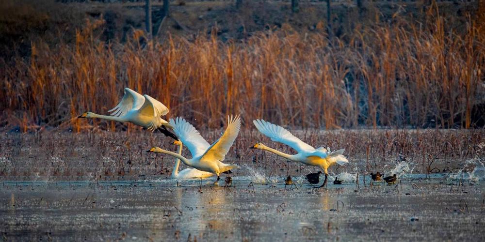 """济南龙湖湿地落迎来""""白色精灵"""" 天鹅起舞迷人醉"""