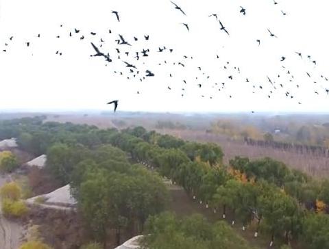 """震撼!无人机""""偶遇""""大量鸟群  黄河生态别样美"""