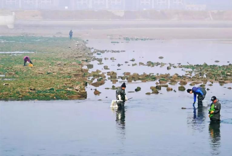 不到俩小时捡十几斤!青岛这个地方海蛎子扎堆!