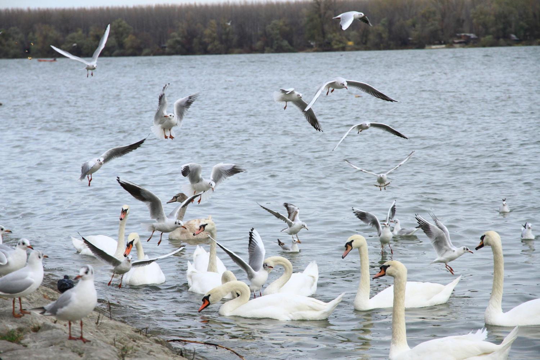 86、多瑙河上争相觅食的海鸥、天鹅