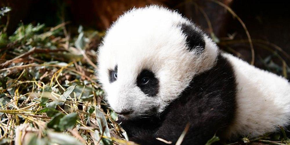 """野外产仔大熊猫""""乔乔""""及幼仔成功回捕"""