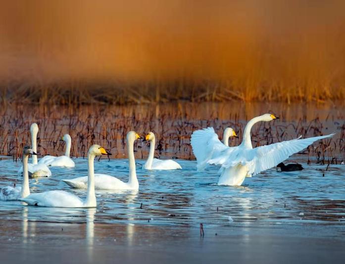 济南龙湖变天鹅湖!芦荻遍地百鸟戏水太美了!