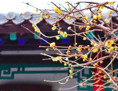 寒冬蜡梅暗香袭人 在济南可以这样赏梅