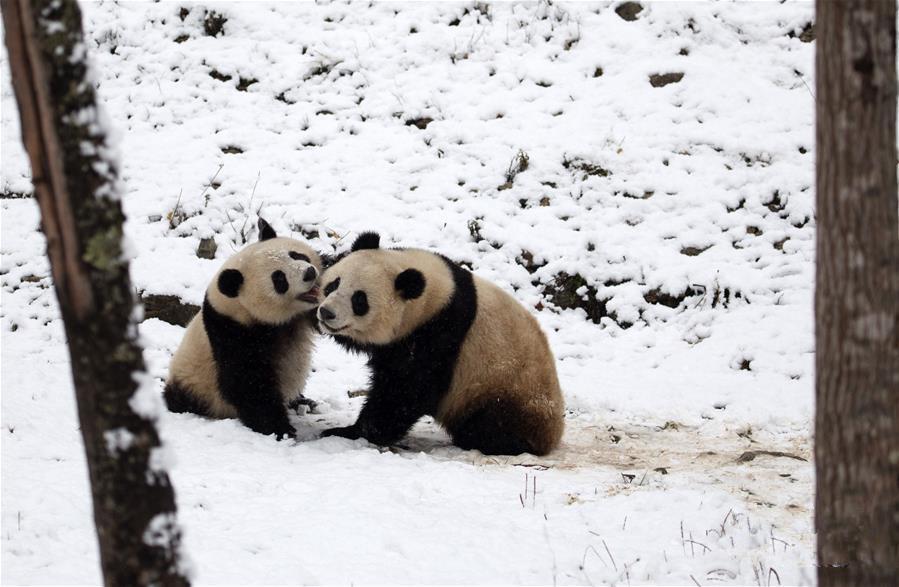 瑞雪降 熊猫乐
