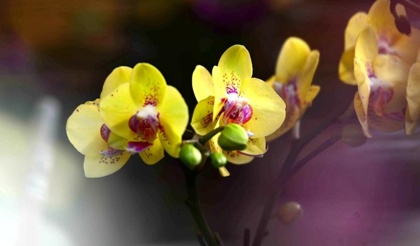 枯桃花卉市场开启春节模式 多彩蝴蝶兰贺新春