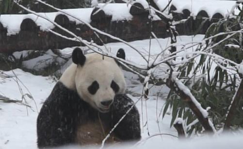 动物遇上雪天就会雪堆里打滚?熊猫:边吃边赏雪才美