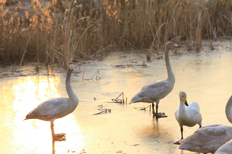 12、荣成大天鹅拍摄地有八处之多,我们只在烟墩角港湾、好运角天鹅湖及周边的湿地拍摄,感觉已美不胜收啦