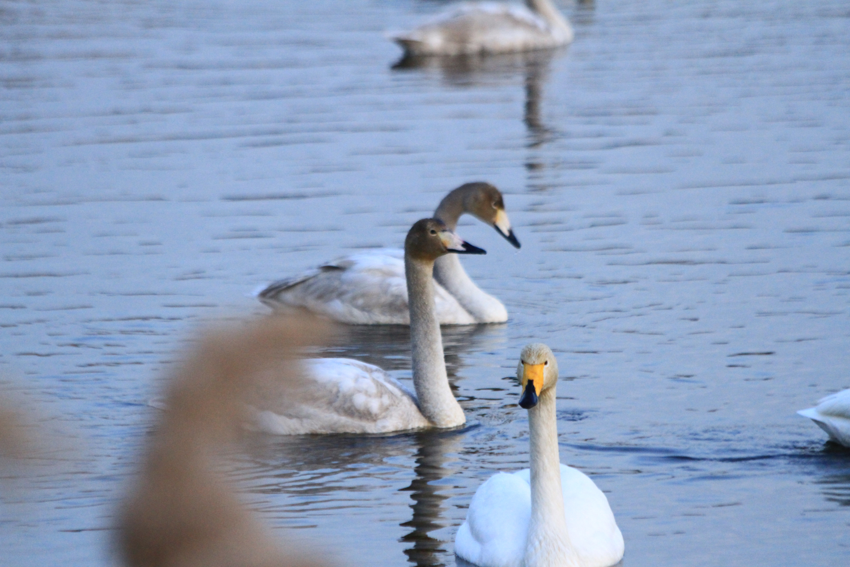 22、港湾、湿地、滩涂都是天鹅理想的栖息地