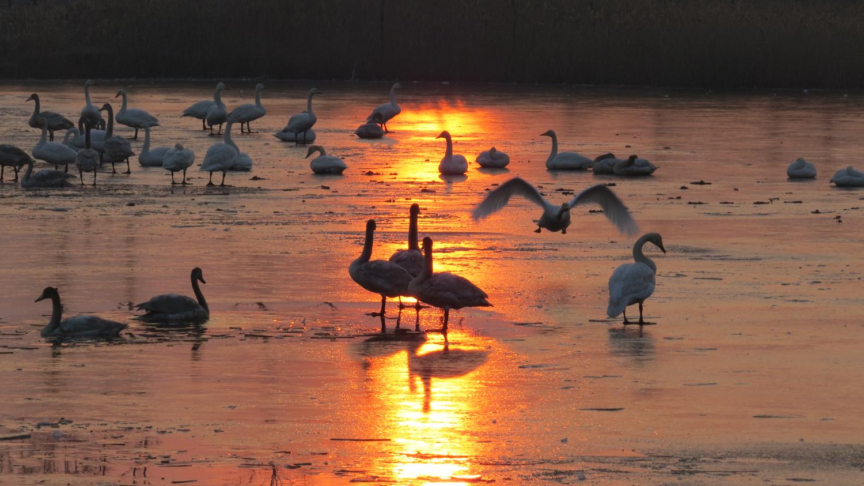 25、晨曦中的湿地天鹅