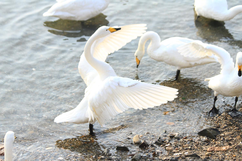 52、看到大天鹅或觅食、或嬉戏、或鸣啼、或飞翔---,此情此景无不令人心旷神怡