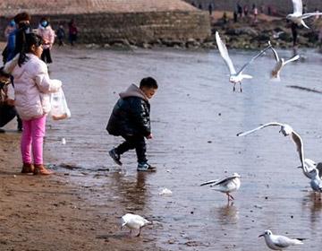 欢欢喜喜过大年 栈桥海滨海鸥为我们表演助兴