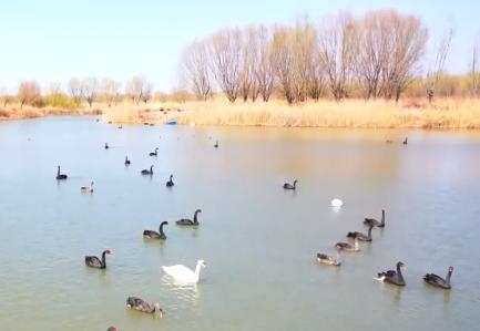 春在齐鲁|济西国家湿地公园:春风拂柳 天鹅嬉戏 春意渐浓